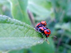 leap bugs (dotun55) Tags: macro nature bug insect beetle nigeria mating reproduction greatnature