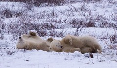 Two Polar Bear Cubs Playing Rolling in the Snow (John Hallam Images) Tags: bear two snow playing cold john cub bears polarbear churchill environment cubs polar polarbears rolling hudsonbay hallam polarbearcub polarbearcubs johnhallam twocubs twopolarbearcubs johnhallamimages