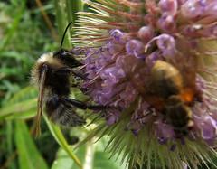 Bee on Flower (Jonathan Stonehouse) Tags: flower macro fuji bee e500