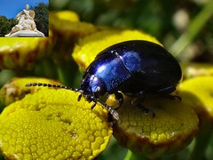 The Gold and the Blue. Blue Leaf Beetle, Chrysolina coerulans, on Tanacetum vulgare, Golden Buttons, Heiligerlee, Oldambt, Groningen, The Netherlands (Rana Pipiens) Tags: tansy norbertines williamthesilent ishflickr goldenbuttons chrysolinacoerulans tancetumvulgare mygearandme blinkagain 80yearswar blueleafbeetle adolpheofnassau heiligerleeoldambtgroningenthenetherlands monssinaiheiligerleegroningenthenetherlands dutchmaiden