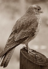 DSCN5260 (Franco Avila) Tags: bird argentina nikon aves neuquen