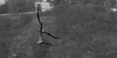Acrobatic flight (Tom Pentax) Tags: b white black bird 120 ex nature k animal republic czech prague pentax 5 w ngc sigma 400 else vltava 56 nothig