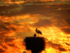 IMG_1820 Sunset storks (pinktigger) Tags: sunset sky italy bird nature clouds italia nest stork cegonha cigea friuli storch cigogne ooievaar fagagna cicogna oasideiquadris feagne