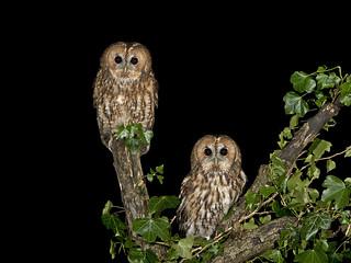 Tawny Owl (Strix aluco) Pair