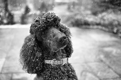 Two hundred and thirteen (Perry McKenna) Tags: boy dog snow black eli poodle fujinon standardpoodle fujixe1 23mmf14