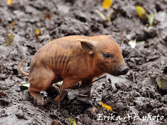 Baby Pigs In Mud Cold and hungry.