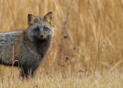 Red Fox...#16 (Guy Lichter Photography - Thank you for 2.5M views) Tags: canada animal animals canon foxy wildlife manitoba fox mammals whiteshellprovincialpark canon14xteleconverter foxred canonef400mmf56l slicesoftime 5d3 amazingwildlifephotography