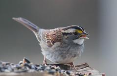 bird birds photography birdfeeder northcarolina sparrow newfeeder whitethroatedsparrow explore171 richmondcoutny makeyourownbirdfeeder betterbirdfeeder
