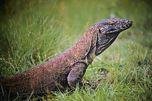 Indonesia - Komodo Island - Komodo Dragon - 1