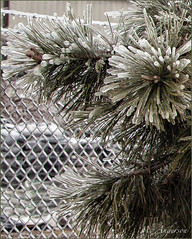 Ice and Fence (A Anderson Photography, over 1 million views) Tags: trees ice canon route66 evergreen nikcolorefexpro countrybackroads traveloklahoma
