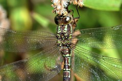2013 Green-striped Darner (Aeshna verticalis) (DrLensCap) Tags: park chicago robert nature bug insect fly illinois village dragon dragonfly north center il kramer darner verticalis aeshna greenstriped