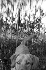 Cody (Kayleigh McCallum) Tags: boy cute lensbaby photography labrador cody 2013 foxredlabrador
