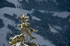 IMG_0590 - Marbachegg (Role Bigler) Tags: schnee snow alps swiss fir alpen schweizer tanne canon70200f4l marbachegg