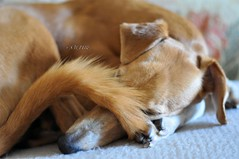 DSC_0007 - Rain, Rain Go Away.... (SWJuk) Tags: uk winter england greyhound home dogs rain 50mm nikon tail lancashire sofa ruby hiding saluki burnley 2014 d90 wetoutside thelittledoglaughed nikond90 salukigreyhound swjuk mygearandme