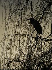 hron dans l'ombre (laetitiablableuse) Tags: shadow lake france bird heron nature animal sunrise soleil fantastic lac ile ombre ardea val passion suburb oiseau lever banlieue marne cinerea cendr