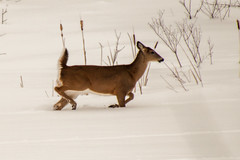 White Tail Deer in the Snow (Conrad Kuiper) Tags: winter snow canon 50500 whitetail 50d