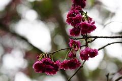 Cherry blossom (ddsnet) Tags: camera plant flower lens sony taiwan resolution cherryblossom sakura   taoyuan  ilc      7r interchangeable mirrorless interchangeablelenscamera 851 7r ilce7r