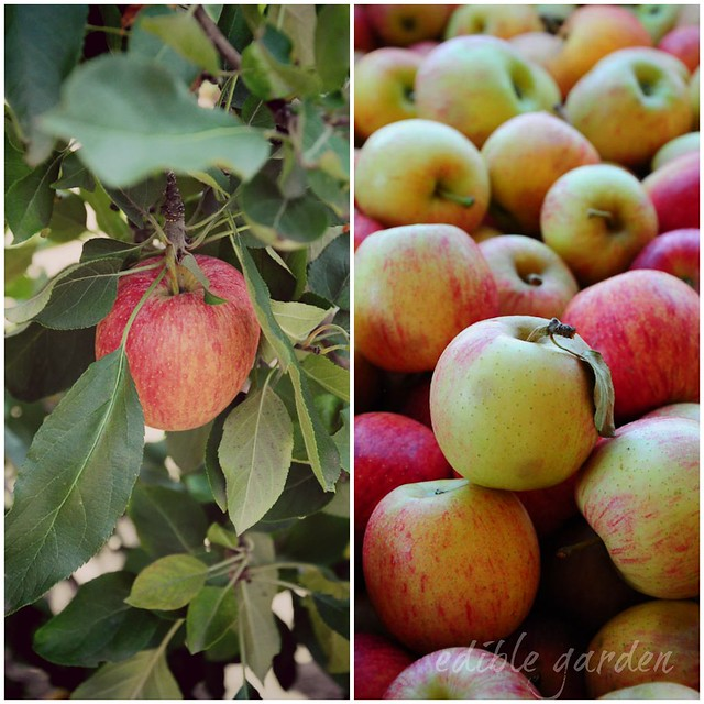 apple picking at bilpin near sydney - a day of #aussieapples
