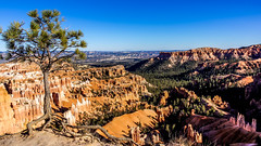 Bryce Canyon Lone tree-2 (sureshbhat) Tags: red tree dwarf sony roots canyon cliffs limestone bryce hoodoos cling clinging cliffside bareroot sonyphotographing sonyphotography sonyslta55 sonyslt