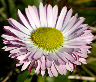 A daisy in our garden