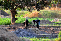 Working the fields (mothclark62) Tags: africa people man west men up birds river person wake with paddy african farming working lodge experience gambia worker local farmer ricefield ricefields tilling the cultivating gambian lamin
