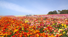 The Flower Fields, Carlsbad, CA 3.29.14 9 (Marcie Gonzalez) Tags: california lighting county ca morning flowers light plants usa sun plant flower color nature colors field america canon botanical photography spread daylight petals rainbow san day natural bright many horizon north diego sunny ranunculus petal southern socal cal rows cover covered blanket bloom fields destination gonzalez blooms carlsbad flowerfields marcie attraction attractions botanicals blooming thousands the destinations so theflowerfields theflowerfieldscarlsbad marciegonzalez marciegonzalezphotography
