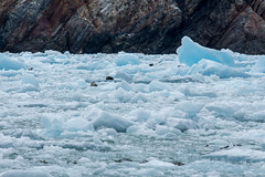 _MG_5040a (markbyzewski) Tags: alaska seal ugly iceberg tracyarm southsawyerglacier