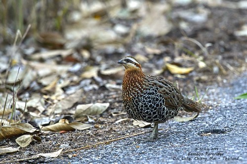 Mountain Bamboo Partridge @ Doi Lang - Chiang Mai_20140310_571