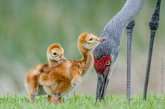 Family Love (Flickrtographer) Tags: family wild bird love nature birds raw florida wildlife beak feathers siblings cranes colts colt sandhillcrane wildlifephotographer hatching hatchling babyanimals wadingbirds familylove cindybryant sigma150500mm sandhillcranecolt nikond7000 photocontesttnc11 birdstnc11 cindybryantphotography photocontesttnc12 flickrtographer photoofthedaynwf12 cindyjbryant photocontesttnc13