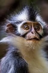Thomas Leaf Monkey 4738 (Ursula in Aus) Tags: animal sumatra indonesia monkey unesco bukitlawang gunungleusernationalpark earthasia sumatrangrizzledlangur thomasslangur presbytisthomasi thomasleafmonkey