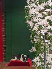Gaudi macht Siesta unterm Clematis-Bltenmeer, 04-2014 (Brenda-Gaudi) Tags: germany clematis gaudi siesta garten deu hunde botanik franzoesischebulldoggen