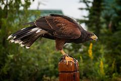 Harris's Hawk (Mike McHolm) Tags: canada d80 grousemountain mcholm mikemcholm nikon vancouver