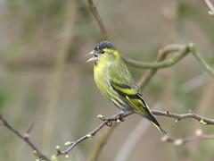 SISKIN  P1070598 (ianpreston) Tags: 2017 siskin calkeabbey nationaltrust derbyshire birds ticknall