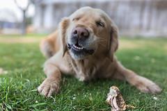 Sonría por favor (sergiotown) Tags: perro perros pet pets dog dogs mascotas mascota campo country landscape portrait retrato paisaje cesped verde grass green eating eat come comiendo feliz felicidad happiness canon sigma 35 35mm art