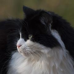 La propriétaire **--- --° (Titole) Tags: cayenne katze kat cat chat noiretblanc titole squareformat nicolefaton fluffy pet challengeyouwinner