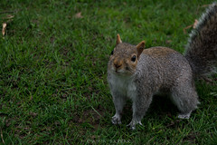 The Curious Visitor (amirdakkak1) Tags: squirrel animal park kensingtonpark london outdoor environment daytime londonpark green photography nature grass greenery