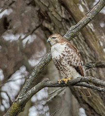 Red-tailed Hawk  Explore 3-30-2017 (b88harris) Tags: red tailed hawk winter white brown raptor trees tree hiking exposure light sunlight sunshine nikon nikkor nature natural n