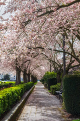 What a Day for a Daydream (Celine Chamberlin) Tags: salem oregon oregonstatecapitol capitolmall spring seasonal treeblossoms trees nature sidewalk pathway path hedges
