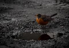 Splash of Colour (Explored) (Katrina Wright) Tags: dsc0121 robin bird red redbreast puddle gravel road pothole wet reflection animal