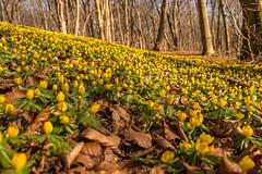 Winterlinge im Rautal (berndtolksdorf1) Tags: jahreszeiten winter wald bäume pflanzen blüten winterlinge outdoor plants natur