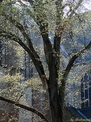 Spring in Alkmaar EXPLORED! (Shahrazad26) Tags: alkmaar noordholland nederland holland thenetherlands paysbas spring lente voorjaar primavera printemps frühling stlaurenskerk