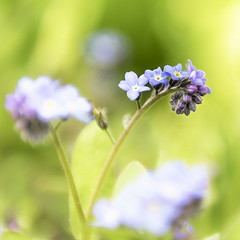 Forget-Me-Not (TrotterFechan) Tags: blue yellow green flower forgetmenot