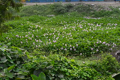 Bright and wild spots (sanat_das) Tags: kolkata embypass wildflowers brightspots wild urbannature roadside d800 50mm