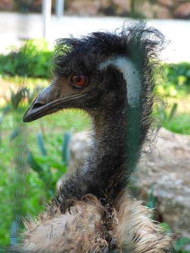 Paphos Zoo - emu (3)