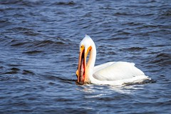2017 02 02 - Eagles & Pelicans-196-Edit (mh803) Tags: iowa leclaire lockanddam14 unitedstatesofamerica animal bird nature pelican wildlife