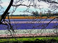 Tulip fields (Corine Bliek) Tags: tulpen tulips bloemen flowers flowering blooning bloeien bollenstreek bulbfields easter colours nature natuur