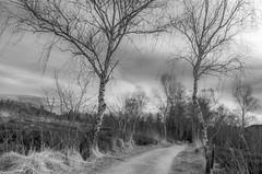 zwei Birken (zora_schaf) Tags: kendlmühlfilze moor birken bäume trees weg schwarzweiss blackandwhite bavaria bayern zoraschaf