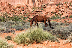 The mustang (erichudson78) Tags: usa monumentvalley nationalpark wildlife canoneos6d canonef70200mmf4lisusm arizona mustang horse cheval nature