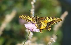 Papilio machaon (J Carrasco (mundele)) Tags: valledevio pndeordesaymonteperdido huesca pirineos insectos mariposas rhopalocera papilionidae papilio