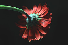 Red flower (Julia_Kul) Tags: gerbera macro red background nature orange floral flower beauty water plant daisy black green gerberas beautiful closeup yellow head blossom flora drop natural studio isolated summer freshness single love petal bloom stem blooming valentine dark spring pink detail gerber against color happy elegance fresh botanical abstract decoration colorful romantic